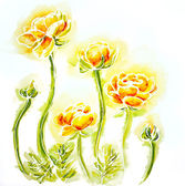 Painted watercolor card with globe-flowers — Stock Photo