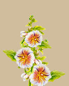 Hollyhock flowers. Watercolor painting. — Stock Photo