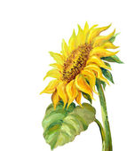 Sunflower isolated on white,  oil painting — Stock Photo