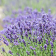 Stock Photo: Lavender bushes