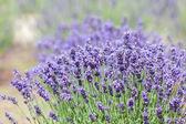 Lavender bushes — Stock Photo