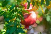 Ripe pomegranate — Stock Photo