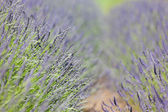 Blooming lavender — Stock Photo