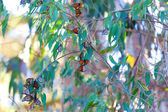 Farfalle monarca — Foto Stock