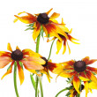 Stock Photo: Yellow rudbeckia