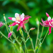 Stock Photo: aquilegia