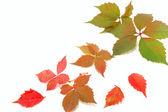Las hojas de otoño colorido — Foto de Stock