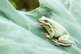 The American green tree frog (Hyla cinerea) on the big green lea — Stock Photo