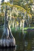 沼泽(秃),赛普拉斯(落羽杉)在湖泊和hangi — 图库照片