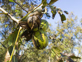 Pecans on a tree branch with leaves — Stock Photo
