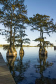 Swamp (bald), cypress (Taxodium distichum) in the lake and hangi — Stock Photo