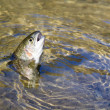 Caught by the bait of Rainbow Trout — Stock Photo