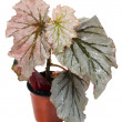 Begonia rex — Stock Photo