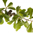 Stock Photo: Blackjack oak branch with green leaves and ripe acorns on white
