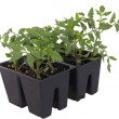 Tomato seedlings in containers — Stock Photo