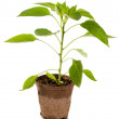 Seedling pepper in a container — Stock Photo