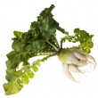 Daikon - white Chinese (Japanese) radish with a highly branched - Stock fotografie
