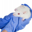 Laboratory white rat strain Sprague Dawley rats in the hands of — Stock Photo