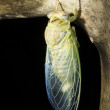 The newly hatched larvae of the cicada is spreading its wings - Stock Photo