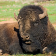 Stock Photo: Americbison on rest.WichitMountains Wildlife Refuge