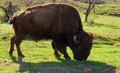 American plains bison in the spring. Wichita Mountains Wildlif — Stock Photo