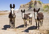 три мулов в пустыне штата техас — Стоковое фото