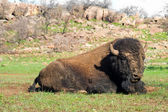 American bison on the rest.Wichita Mountains Wildlife Refuge — Stock Photo