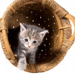 Gray kitten in the inverted basket - Stock Photo