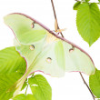 Stock Photo: LunMoth (Actias luna) beech branch isolated on white backgro
