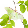 Stock Photo: Delightful LunMoth (Actias luna) beech branch isolated on wh