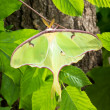 Stock Photo: LunMoth (Actias luna) branch in sun