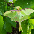 A beautiful Luna Moth (Actias luna) on a background of foliage i - Стоковая фотография