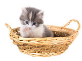 Tri-color washes kitten in a basket isolated on a white background — Stock Photo