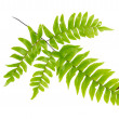 Stock Photo: Leaves are dark green fern on a white background