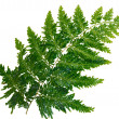Leaves are dark green fern isolated on white background — Stock Photo