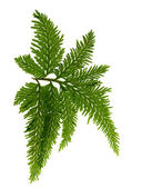 The beautiful fern on a white background — 图库照片
