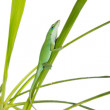 Lizard on the green grass. Caroline or krasnogorly anoles (Anoli - Zdjcie stockowe