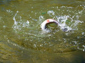 Rainbow trout is trying to get off the hook — Foto de Stock