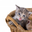 Purebred gray kitten meowing in the basket — Stock Photo