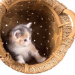 Tri-color kitten in a basket — Stock Photo