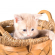 Unhappy peach color kitten in a basket — Stock Photo