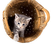 Gray kitten in the inverted basket — Stock Photo
