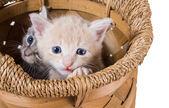 Sepet içinde iki safkan yavru kedi — Stok fotoğraf