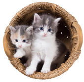 Two blue-eyed fluffy kitten in a basket — Stock Photo