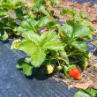 Stock Photo: Ripened strawberries in garden