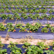 Stock Photo: Field of strawberry patch