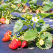 Stock Photo: Small bush of strawberry with flowers and berries on backgroun