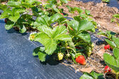 Ripened strawberries in the garden — Stock Photo