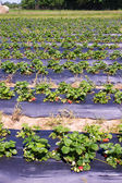Field of the strawberry patch — Stock Photo