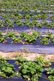 A large number of beds of strawberries — Stock Photo